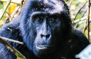 Gorilla Encounter