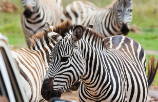 zebras-on-topdeck-sun-and-safari-trip